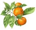 Bergamot aromatický olej