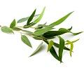 Eukalyptus olej