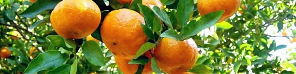 ovoce bergamot